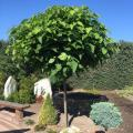 Catalpa kulista NANA 170cm sadzonka w pojemniku